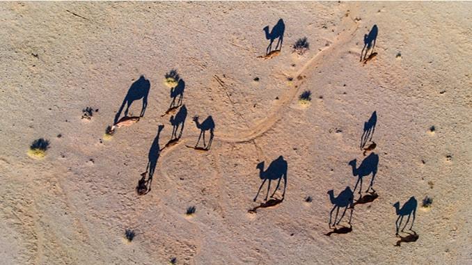 Camels cast a long shadow